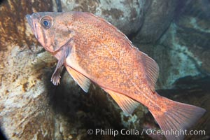Dusky rockfish, Sebastes ciliatus
