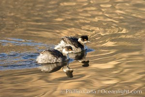 Eared Grebes on Lake Hodges, immature / non-mating pair, San Diego