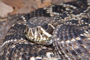 Eastern diamondback rattlesnake., Crotalus adamanteus, natural history stock photograph, photo id 14691