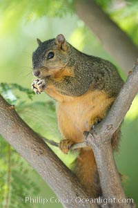 Eastern fox squirrel.  The eastern fox squirrel historically occur in the  eastern and central portions of North America, but have been introduced in the 1900's to urban areas in the western United States.  They are the largest of the North American squirrels, reaching 29 inches in length and up to 3 pounds.  They are generalist feeders with a diet that varies according to their habitat, including nuts, seed, bird eggs and chicks, frogs, flowers and agricultural crops, Sciurus niger, Los Angeles, California