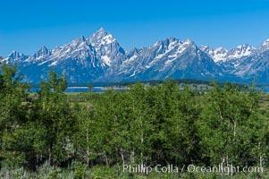 Aspens in summer below the Teton Range, Populus tremuloides, Grand Teton National Park, Wyoming