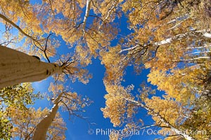 Image 17499, Quaking aspens turn yellow and orange as Autumn comes to the Eastern Sierra mountains, Bishop Creek Canyon. Bishop Creek Canyon, Sierra Nevada Mountains, Bishop, California, USA, Populus tremuloides