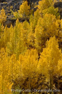 Aspen trees turn yellow and orange in early October, South Fork of Bishop Creek Canyon. Bishop Creek Canyon, Sierra Nevada Mountains, Bishop, California, USA, Populus tremuloides, natural history stock photograph, photo id 17505