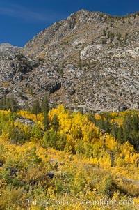 Aspen trees cover Bishop Creek Canyon above Aspendel. Bishop Creek Canyon, Sierra Nevada Mountains, Bishop, California, USA, Populus tremuloides, natural history stock photograph, photo id 17515
