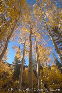 Aspen trees turn yellow and orange in early October, North Fork of Bishop Creek Canyon, Populus tremuloides, Bishop Creek Canyon, Sierra Nevada Mountains