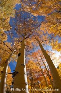 Quaking aspens turn yellow and orange as Autumn comes to the Eastern Sierra mountains, Bishop Creek Canyon, Populus tremuloides, Bishop Creek Canyon, Sierra Nevada Mountains
