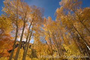 Quaking aspens turn yellow and orange as Autumn comes to the Eastern Sierra mountains, Bishop Creek Canyon. Bishop Creek Canyon, Sierra Nevada Mountains, Bishop, California, USA, Populus tremuloides, natural history stock photograph, photo id 17526