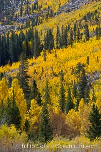 Aspen trees turn yellow and orange in early October, South Fork of Bishop Creek Canyon. Bishop Creek Canyon, Sierra Nevada Mountains, Bishop, California, USA, Populus tremuloides, natural history stock photograph, photo id 17531