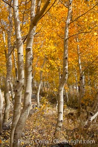 Aspen trees turn yellow and orange in early October, South Fork of Bishop Creek Canyon. Bishop Creek Canyon, Sierra Nevada Mountains, Bishop, California, USA, Populus tremuloides, natural history stock photograph, photo id 17533