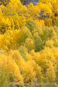 Aspen trees turn yellow and orange in early October, South Fork of Bishop Creek Canyon. Bishop Creek Canyon, Sierra Nevada Mountains, Bishop, California, USA, Populus tremuloides, natural history stock photograph, photo id 17535