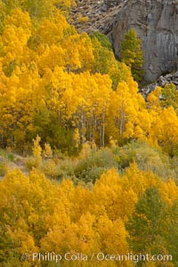 Aspen trees turn yellow and orange in early October, South Fork of Bishop Creek Canyon. Bishop Creek Canyon, Sierra Nevada Mountains, California, USA, Populus tremuloides, natural history stock photograph, photo id 17567