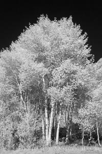 Aspen trees in fall, eastern Sierra fall colors, autumn, Populus tremuloides, Bishop Creek Canyon, Sierra Nevada Mountains