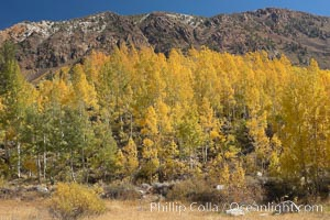 Aspen trees turn yellow and orange in early October, South Fork of Bishop Creek Canyon. Bishop Creek Canyon, Sierra Nevada Mountains, Bishop, California, USA, Populus tremuloides, natural history stock photograph, photo id 17517