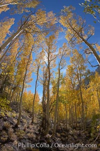 Aspen trees turn yellow and orange in early October, South Fork of Bishop Creek Canyon. Bishop Creek Canyon, Sierra Nevada Mountains, Bishop, California, USA, Populus tremuloides, natural history stock photograph, photo id 17519