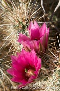 Hedgehog cactus blooms in spring, Echinocereus engelmannii, Anza-Borrego Desert State Park, Borrego Springs, California