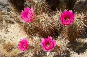 Hedgehog cactus blooms in spring. Joshua Tree National Park, California, USA, Echinocereus engelmannii, natural history stock photograph, photo id 11937