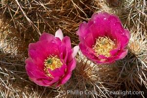 Hedgehog cactus blooms in spring. Joshua Tree National Park, California, USA, Echinocereus engelmannii, natural history stock photograph, photo id 11940