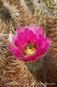 Hedgehog cactus blooms in spring, Echinocereus engelmannii, Joshua Tree National Park, California