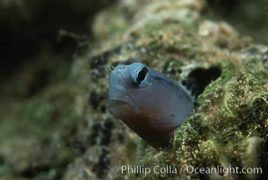 Mimic blenny. Egyptian Red Sea, Ecsenius gravieri, natural history stock photograph, photo id 00271