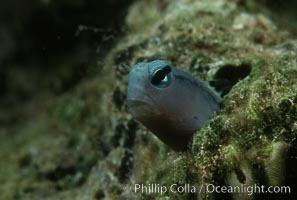 Mimic blenny, Ecsenius gravieri, Egyptian Red Sea