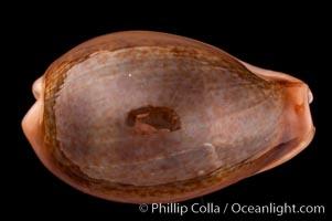 Egg Cowrie, Cypraea ovum