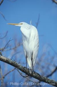 Image 05841, Egret. Homosassa River, Homosassa, Florida, USA, Phillip Colla, all rights reserved worldwide. Keywords: bird, egret, florida, homosassa, homosassa river, usa.