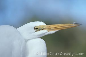 Egret. Homosassa River, Florida, USA, natural history stock photograph, photo id 05842