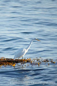 Egret, Monterey, California