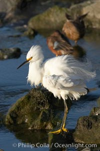 Snowy egret, Egretta thula, Upper Newport Bay Ecological Reserve, Newport Beach, California
