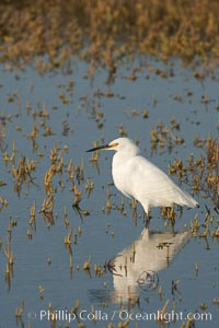Snowy egret wading, foraging for small fish in shallow water. San Diego Bay National Wildlife Refuge, San Diego, California, USA, Egretta thula, natural history stock photograph, photo id 17453