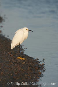 Snowy egret wading, foraging for small fish in shallow water. San Diego Bay National Wildlife Refuge, San Diego, California, USA, Egretta thula, natural history stock photograph, photo id 17462