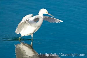 Snowy egret, Egretta thula, Bolsa Chica State Ecological Reserve, Huntington Beach, California