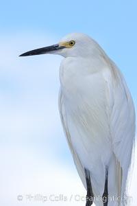 Snowy egret, Egretta thula, San Diego, California