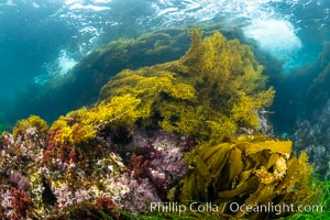 Various algae species sway with passing waves, including Stephanocystis dioica and Southern Sea Palm (Eisenia arborea), Stephanocystis dioica, San Clemente Island