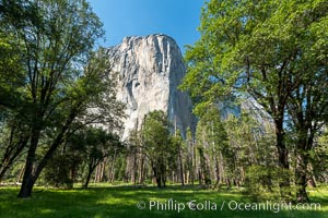 El Capitan and Oak Trees, Yosemite National Park. California, USA, natural history stock photograph, photo id 36376
