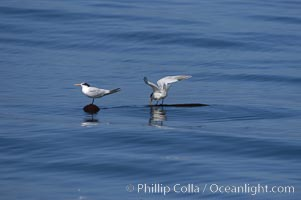 Elegant terns on a piece of elkhorn kelp.  Drifting patches or pieces of kelp provide valuable rest places for birds, especially those that are unable to land and take off from the ocean surface.  Open ocean near San Diego, Sterna elegans, Pelagophycus porra