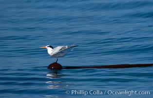 Elegant terns a on piece of elkhorn kelp.  Drifting patches or pieces of kelp provide valuable rest places for birds, especially those that are unable to land and take off from the ocean surface.  Open ocean near San Diego, Pelagophycus porra, Sterna elegans