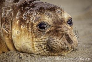 Northern elephant seal, pup. Piedras Blancas, San Simeon, California, USA, Mirounga angustirostris, natural history stock photograph, photo id 00948