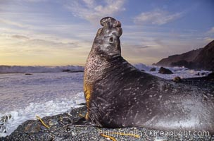Northern elephant seal bull, Mirounga angustirostris, Gorda, Big Sur, California