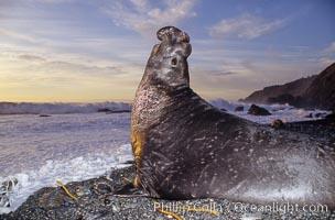 Northern elephant seal bull. Gorda, Big Sur, California, USA, Mirounga angustirostris, natural history stock photograph, photo id 02052