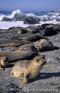 Northern elephant seal pups, Mirounga angustirostris, Gorda, Big Sur, California