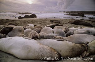 Northern elephant seals, Central California, Mirounga angustirostris, Piedras Blancas, copyright Phillip Colla Natural History Photography, www.oceanlight.com, image #02520, all rights reserved worldwide.