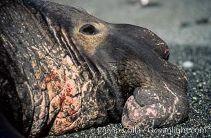 Northern elephant, adult male, wounds from territorial fighting. Piedras Blancas, San Simeon, California, USA, Mirounga angustirostris, natural history stock photograph, photo id 02522