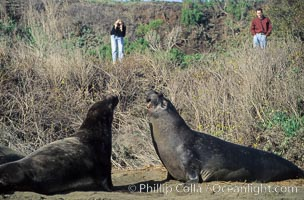 Tourists observing Northern elephant seals, Mirounga angustirostris, Piedras Blancas, copyright Phillip Colla Natural History Photography, www.oceanlight.com, image #02525, all rights reserved worldwide.