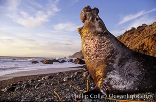 Northern elephant seal, sunset.  Scars on neck and chest are from territorial battles with other adult males. Big Sur. Gorda, Big Sur, California, USA, Mirounga angustirostris, natural history stock photograph, photo id 10037