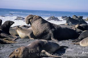 Northern elephant seals, Mirounga angustirostris, Gorda, Big Sur, California