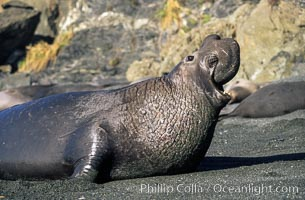 Northern elephant seal, adult male with large proboscis, Mirounga angustirostris, Piedras Blancas, San Simeon, California