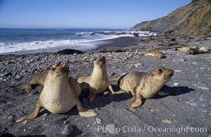 Juvenile northern elephant seals, Mirounga angustirostris, Big Sur, California