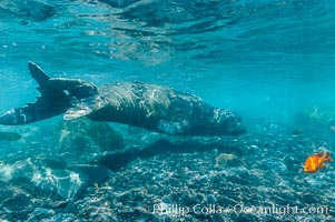 Juvenile northern elephant seal warily watches the photographer, underwater, Guadalupe Island (Isla Guadalupe)