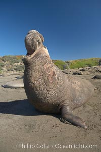 Image 15424, Male elephant seal rears up on its foreflippers and bellows to intimidate other males and to survey its beach territory.  Winter, Central California. Piedras Blancas, San Simeon, California, USA, Mirounga angustirostris